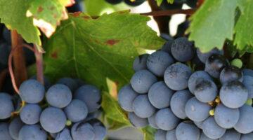 Estamos no auge da colheita da uva de mesa em Santa Catarina